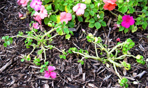 blog_impatiens-disease