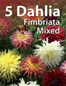 new13_dahliaA