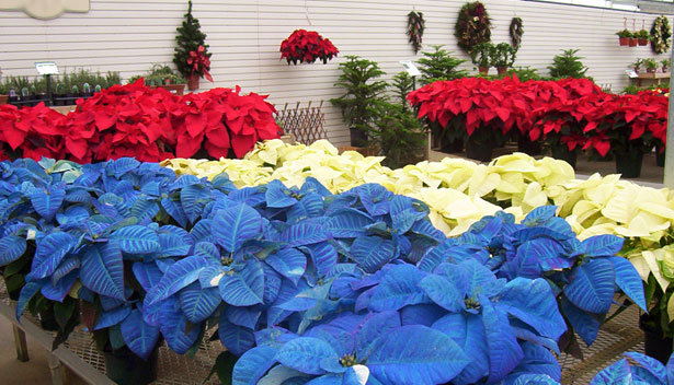 blue_poinsettia