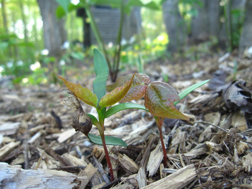 maple_seedling
