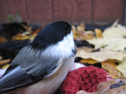 bird_chickadee