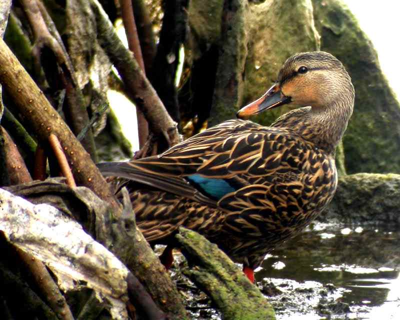 Mottled_Duck