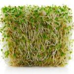 Alfalfa_sprouts