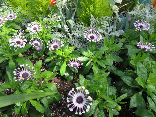 March30_african daisy