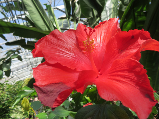 March30_hibiscus