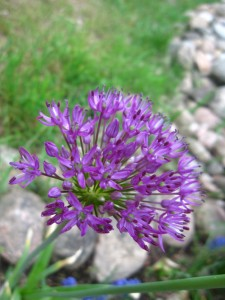 July23_allium