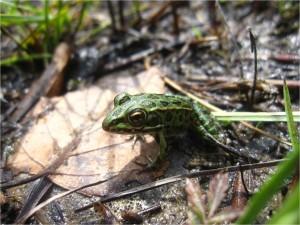 Aug24_leopard_frog