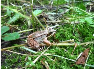 Aug24_wood_frog