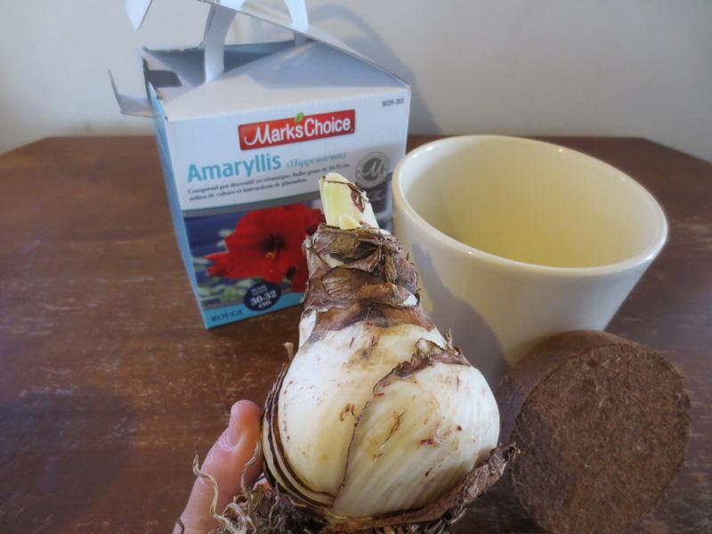 Dec5_amaryllis bulb