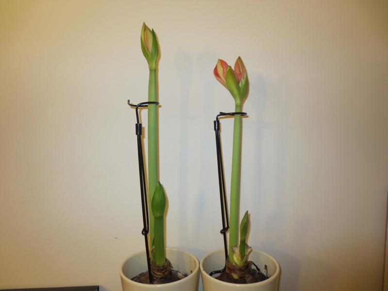 Dec5_amaryllis stake