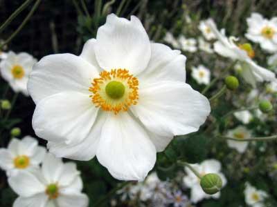 blog_anemone
