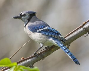 Aug16_BlueJay