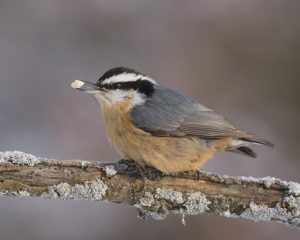 Red-breasted Nuthatch, my garden