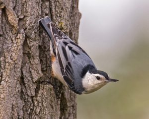 Oct16_white breasted nuthatch